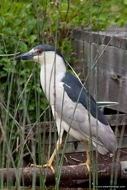 Black-crowned night heron, Algonquin Island, Toronto Islands