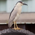 Black-crowned night heron, Ward's Island, Toronto Islands
