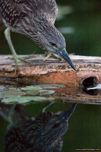 Hunting adolescent night heron, Snug Harbour, Toronto Islands