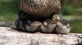 Napping mallard ducklings, Snug Harbour, Toronto Islands