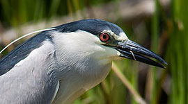 Black-crowned night heron tongue, Doughnut Island, Toronto Islands