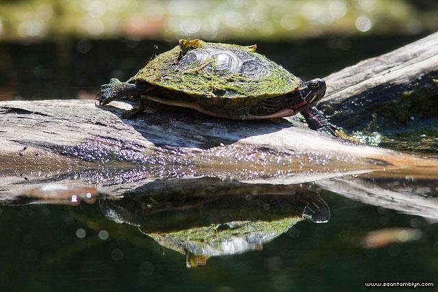Mossy painted turtle, Snug Harbour, Toronto Islands