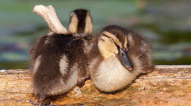 Sleeping mallard ducklings, Snug Harbour, Toronto Islands