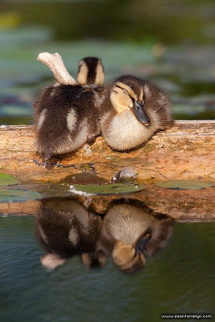 Sleeping mallard ducklings, Snug Harbour, Toronto Islands