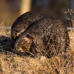 Beaver couple, Algonquin Island, Toronto Islands