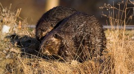 Beaver couple, Algonquin Island, Toronto Islands