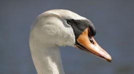 Mute swan portrait, Doughnut Island, Toronto Islands