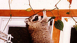 Raccoon in kitchen, Ward&#039;s Island, Toronto Islands