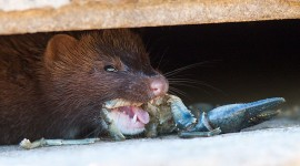 Closeup of mink eating a crayfish, Centre Island, Toronto Islands