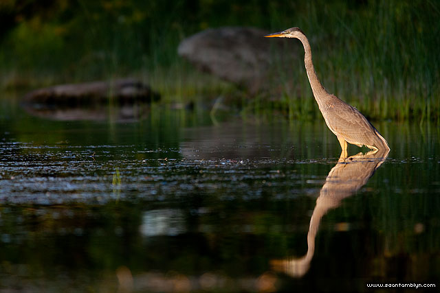 Hunting great blue heron in strong sidelight, Algonquin Island, Toronto Islands