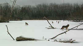 Hunting coyote pair, Doughnut Island, Toronto Islands