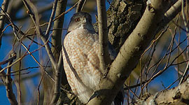 Cooper hawk, South Island, Toronto Islands