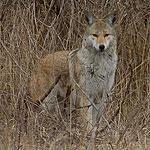 Coyote staredown, Centre Island, Toronto Islands