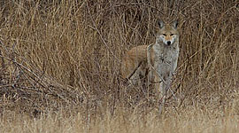 Coyote staredown, Centre Island, Toronto Islands