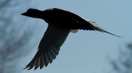 Long-tailed duck in flight, Hanlan's Point, Toronto Islands