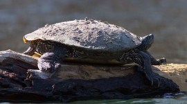 Red-eared slider covered in hibernation muck, Doughnut Island, Toronto Islands