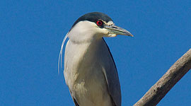 Early returned black-crowned night heron, Doughnut Island, Toronto Islands
