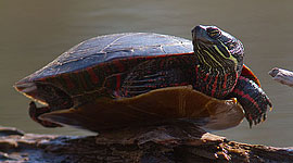 Balancing painted turtle, Doughnut Island, Toronto Islands