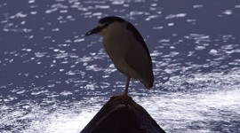 Moonlit black-crowned night heron, Ward's Island, Toronto Islands