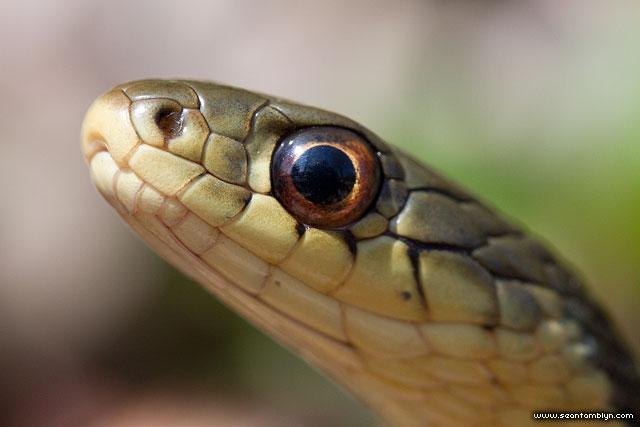 Garter snake portrait, Ward's Island, Toronto Islands