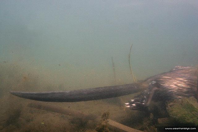 Muskrat underwater, Doughnut Island, Toronto Islands