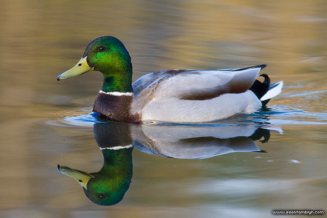 Mallard duck reflection, Doughnut Island, Toronto Islands