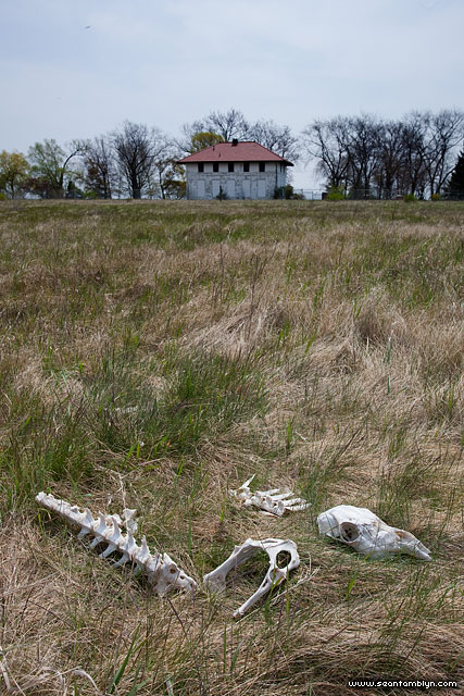 Deer skull and remains, Centre Island, Toronto Islands