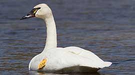 Trumpeter swan 24, Doughnut Island, Toronto Islands