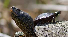 Painted turtle riding on another turtle's back, Doughnut Island, Toronto Islands
