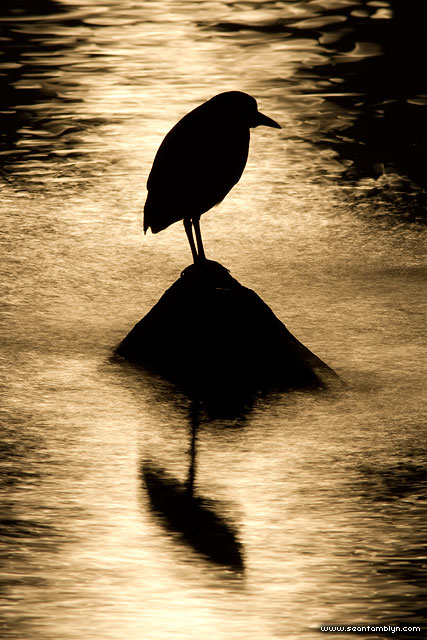 Black-crowned night heron moonlight silhouette, Ward's Island, Toronto Islands