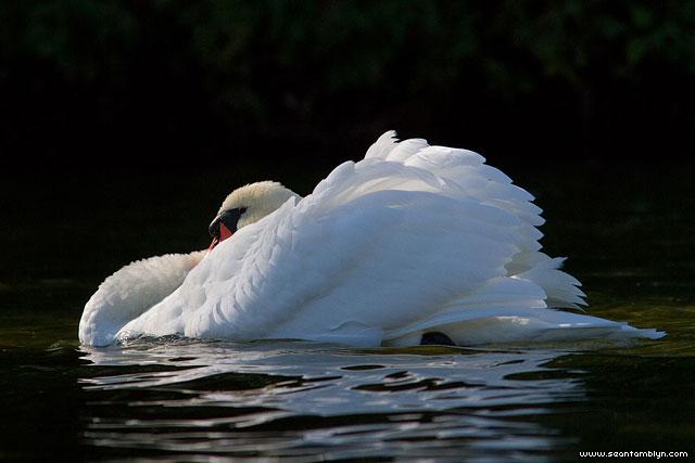 Mute swan defensive posture, Hanlan's Point, Toronto Islands