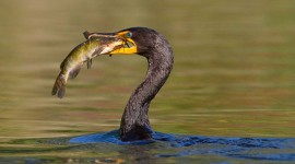 Cormorant with catfish, Blockhouse Bay, Toronto Islands