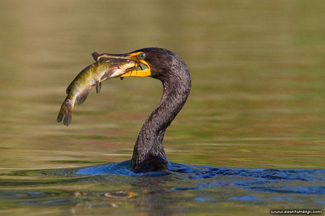 Cormorant with catfish, Blockhouse Bay, Toronto Islands