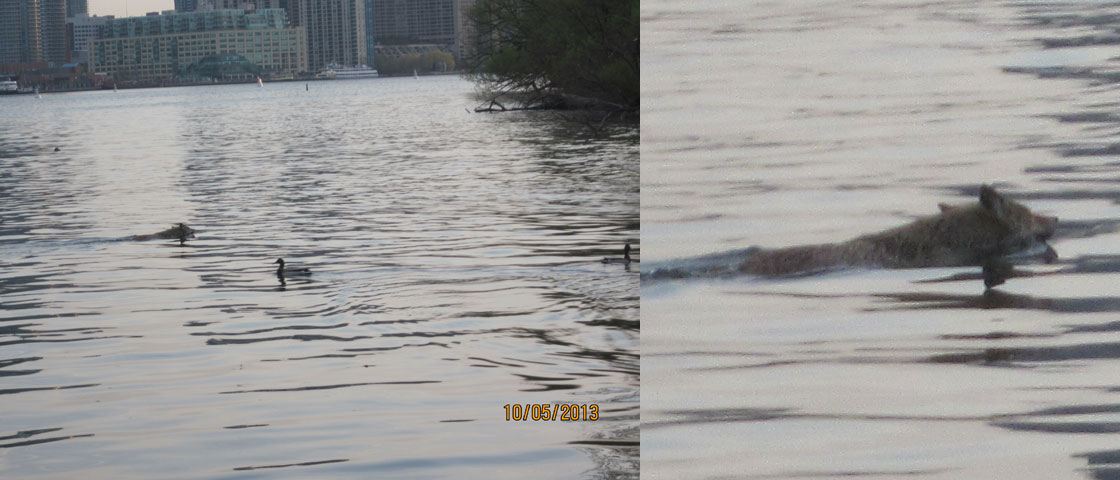Swimming Coyote, Blockhouse Bay, Toronto Islands
