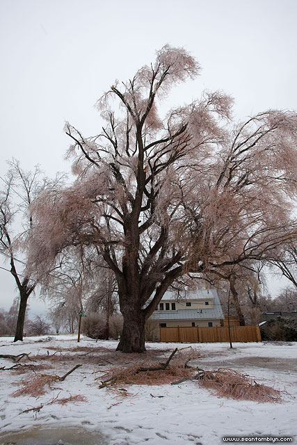 Great Willow, Ward's Island, Toronto Islands