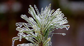 Pine needles coated in ice, Ward's Island, Toronto Islands