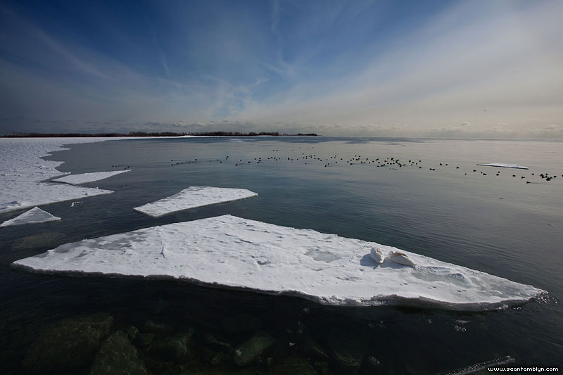 Swans on ice floe, Ward's Island, Toronto Islands