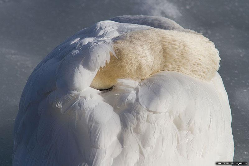 Napping mute swan, Ward's Island, Toronto Islands