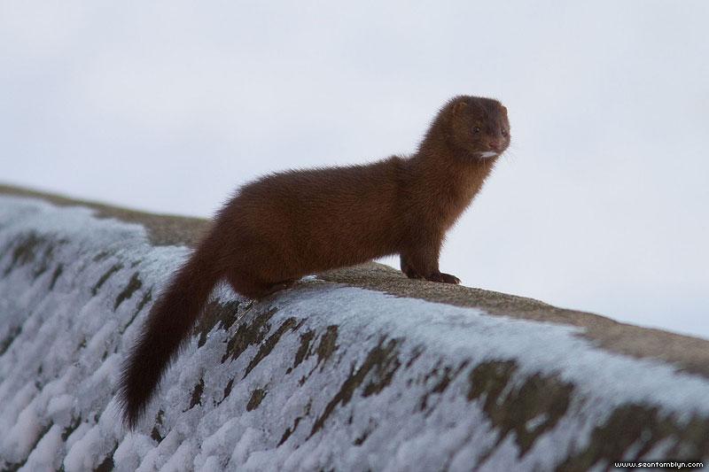Mink on breakwall, Centre Island, Toronto Islands