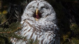 Yawning barred owl, Algonquin Island, Toronto Islands