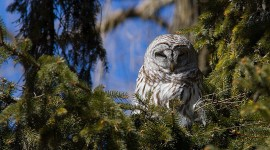 Barred owl in fir tree, Algonquin Island, Toronto Islands