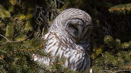 Barred owl, Algonquin Island, Toronto Islands