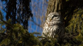 Barred owl in sunlight, Algonquin Island, Toronto Islands