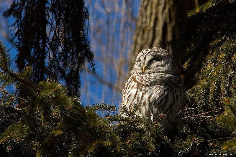 Barred owl in sunlight, Algonquin Island, Toronto Islands