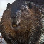 Large beaver on ice, Ward's Island, Toronto Islands