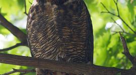 Great Horned Owl, Ward's Island, Toronto Islands