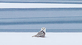 Snowy owl on ice, Outer Harbour, Toronto Islands