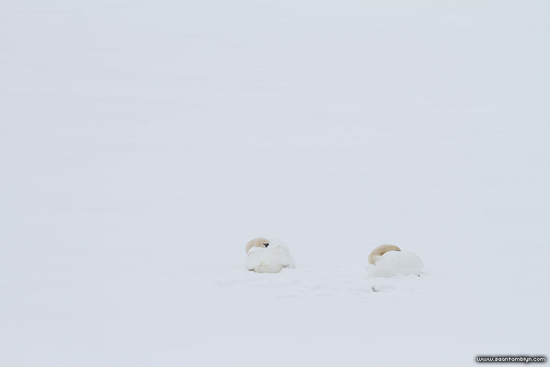 Mute swans sleeping on ice, Centre Island, Toronto Islands