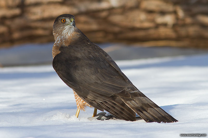 Sharp-shinned hawk with prey, Centre Island, Toronto Islands