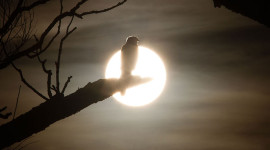 Sharp-shinned hawk backlit by setting sun, Algonquin Island, Toronto Islands